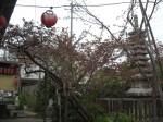 普賢象桜の夕べ