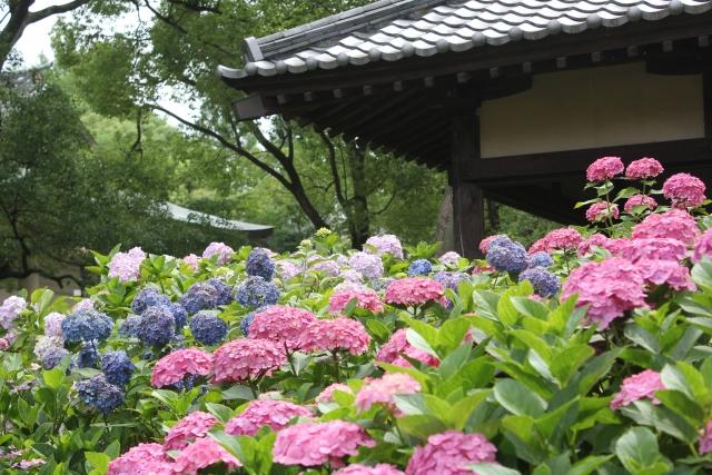 藤森神社紫陽花