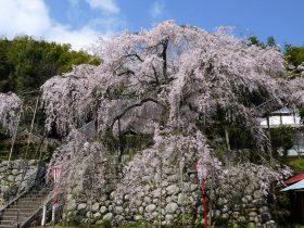 吉田のしだれ桜・瑠璃寺