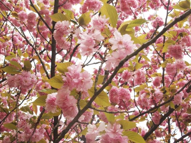 京都府立植物園桜