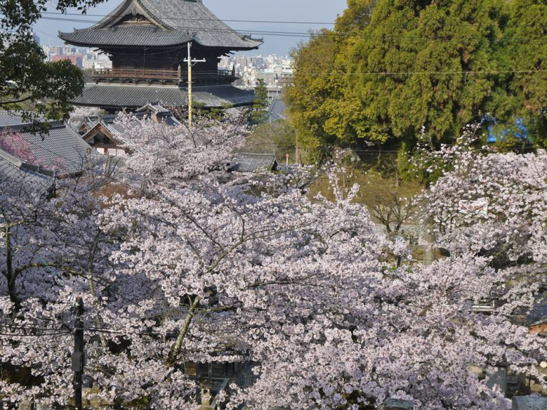 金戒光明寺桜