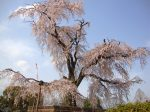 円山公園桜