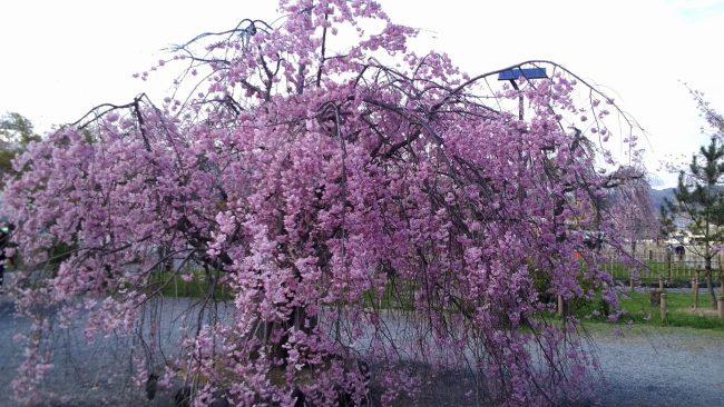 嵐山公園桜