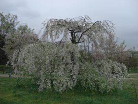 梅小路公園桜