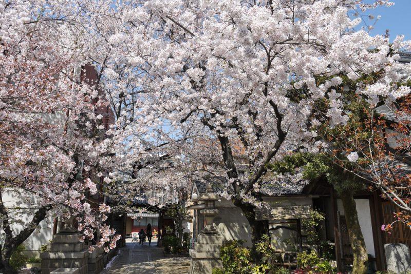 墨染寺桜見ごろ