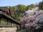 御香宮神社桜見ごろ