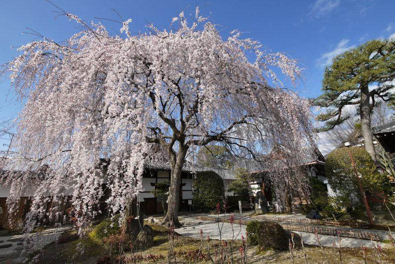 本満寺桜見ごろ