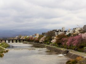鴨川桜見ごろ