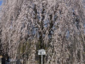 千本釈迦堂桜見ごろ