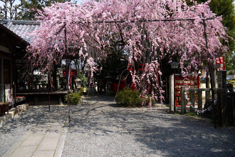 水火天満宮桜見ごろ