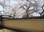 等持院桜見ごろ