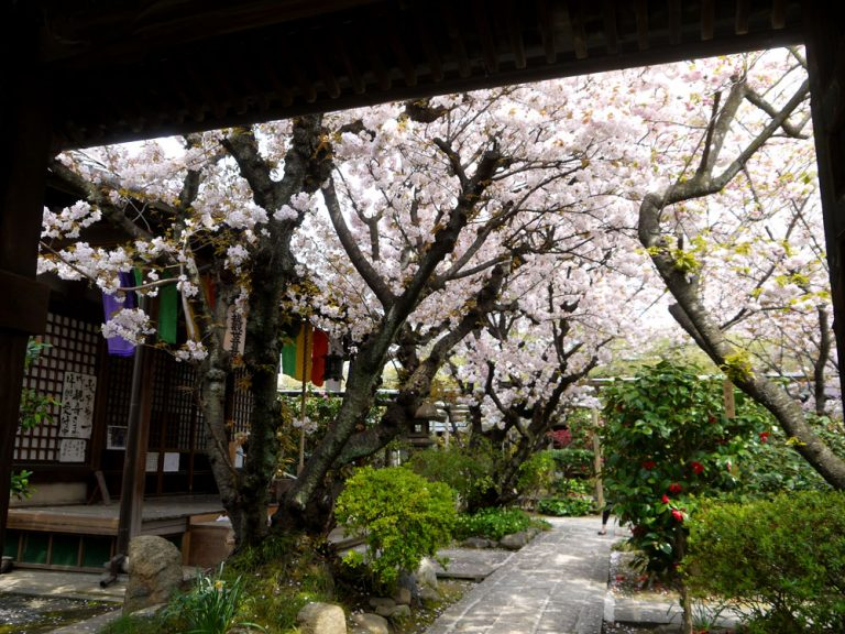 雨宝院桜見ごろ